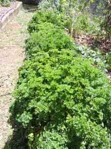 A feast of Parsley